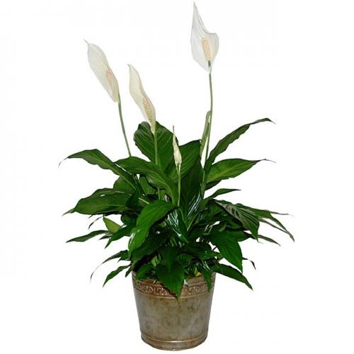 Best Plant For Your Desk Archives Virtual Vocations