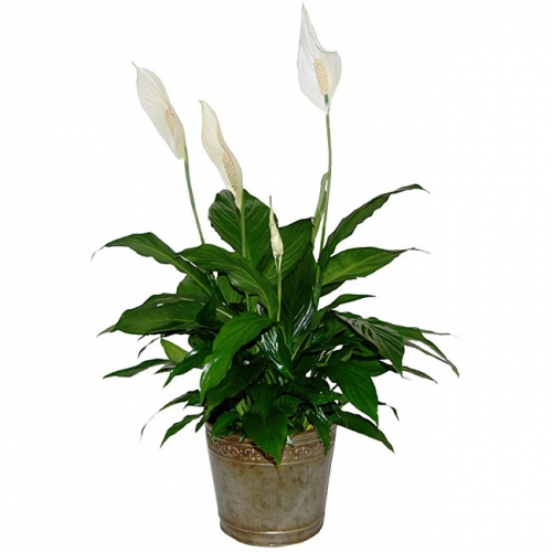 Best type of plant for your desk telecommute and remote for Office plants no natural light